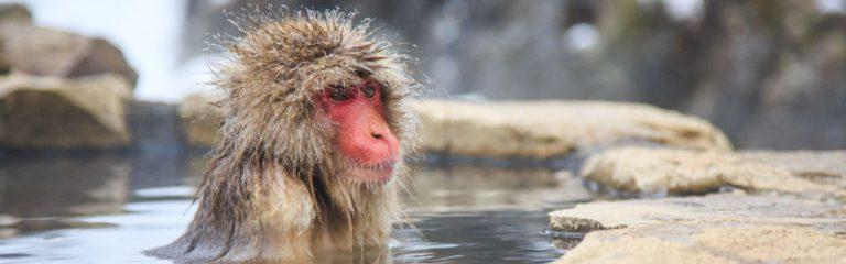 Nagano Monkey